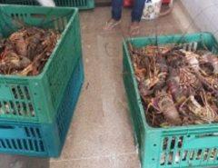 Operação apreende 357 kg de lagosta durante pesca ilegal no litoral Sul do RN