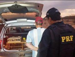 PRF flagra homem transportando 28 pássaros silvestres no interior do Estado