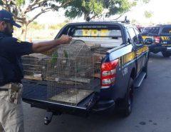 PRF apreende 45 pássaros silvestres em residências na cidade de Ceará-Mirim
