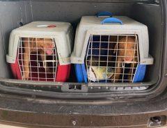 MAIS INFORMAÇÕES: Em Macaíba, 8 pitbulls são resgatados feridos, infestados de carrapatos, sem comida e água