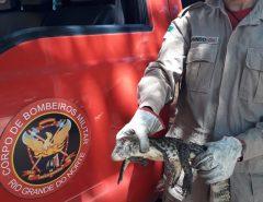 Corpo de Bombeiros do RN resgata filhote de jacaré em Macaíba