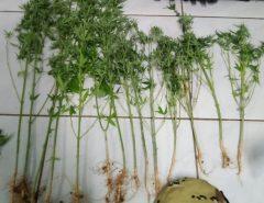 PM encontra plantação de maconha irrigada por sistema de gotejamento usado na agricultura no interior do RN