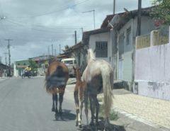 Cavalos soltos colocam em risco o tráfego de veículos em Macaíba